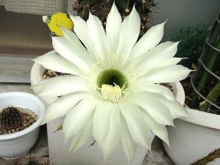 150825_3423今朝の子サボテンの花VGA