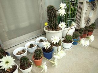150825_3425今朝のサボテンの花・全景VGA