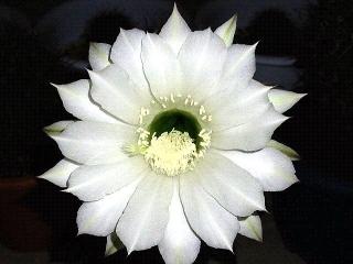 150915_3465今夜咲いたサボテンの花VGA