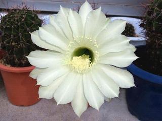 150916_3467今朝のサボテンの花VGA