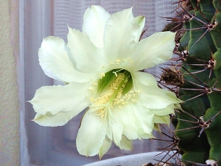 150926_3483今朝の親サボテンの花VGA