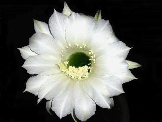 150926_3494今夜開いた親サボテンの花VGA