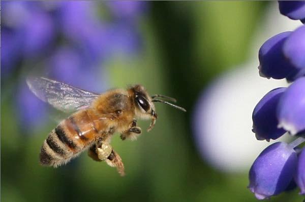 20150918 日本ミツバチ