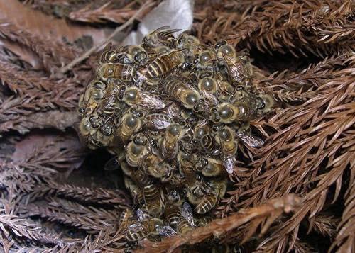 20150918 蜂玉
