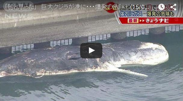 【九州】16メートルの巨大なマッコウクジラが福岡の港に…体内のガスによる爆発の危険も
