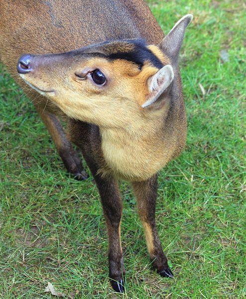 【伊豆大島】小型の鹿「キョン」が大繁殖…今では11000頭に