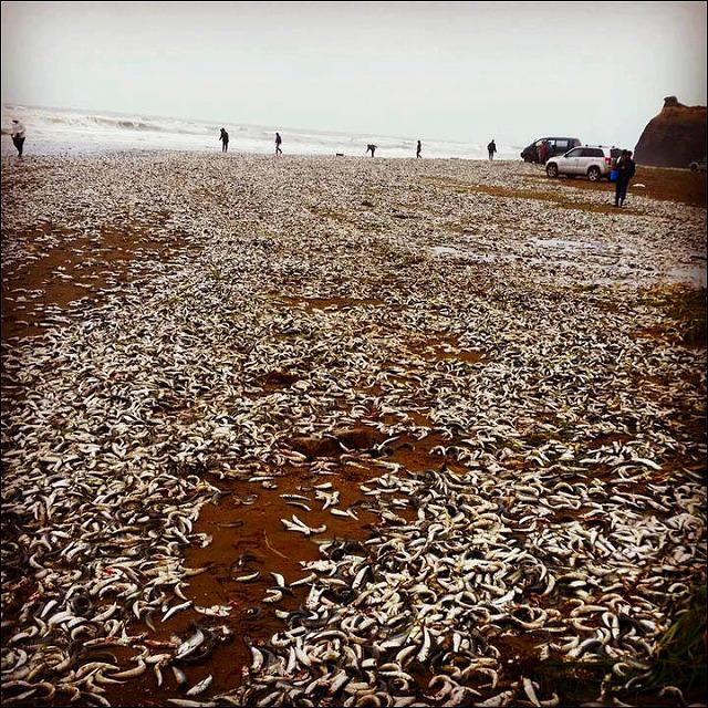 ロシアのサハリン沿岸に「イワシ数万匹」が打ち上げられる!