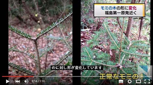 福島県でモミの木に異常が増加…線量が高い場所ほど異常な割合が多い
