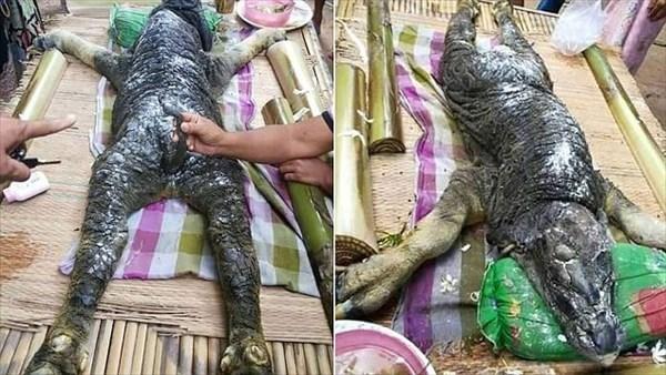 【キメラ】タイの村で水牛から「謎の生物」が生まれる…ワニのような特徴をあわせ持った生き物