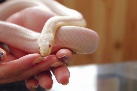 white_snake53.jpg