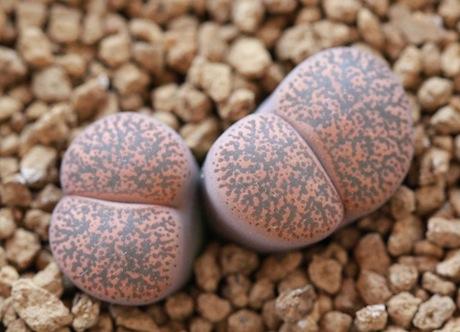 リトープス・C342紫薫
